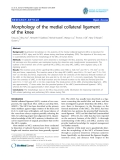 """báo cáo hóa học:""""   Morphology of the medial collateral ligament of the knee"""""""