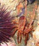 Florida's Spiny Lobster Trap Certificate Program
