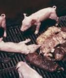 Porcine reproductive and  respiratory syndrome (PRRS)