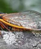 REPRODUCTIVE CHARACTER DISPLACEMENT AND SPECIATION IN PERIODICAL CICADAS, WITH DESCRIPTION OF A NEW SPECIES, 13-YEAR