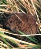 Mechanisms for delayed density-dependent reproductive traits in field voles, Microtus agrestis: the importance of inherited environmental effects