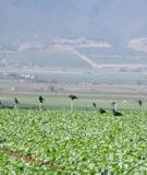PEST MANAGEMENT STRATEGIC PLAN  FOR  CALIFORNIA AND ARIZONA LETTUCE PRODUCTION  2003