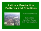 Lettuce Production  Patterns and Practices
